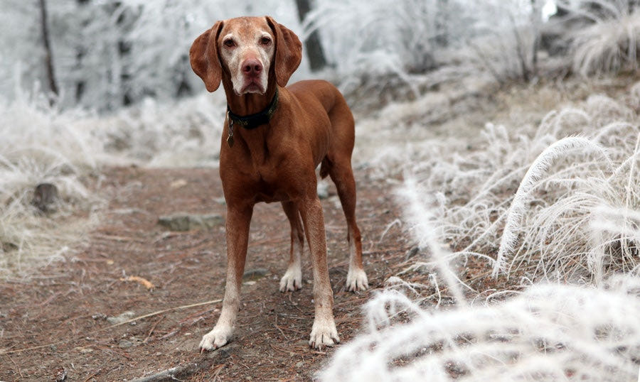 Brown Dog in the Snow While Hiking