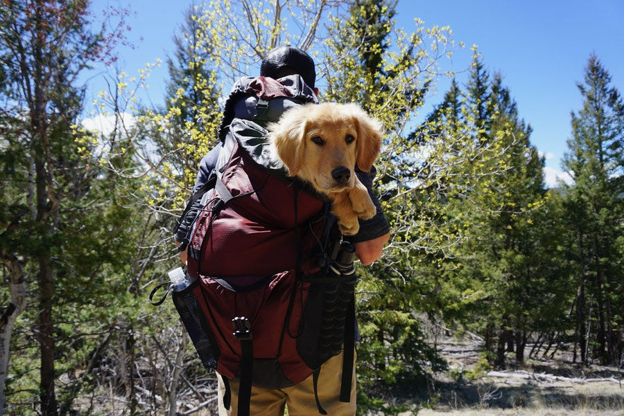 baby golden retriever puppy in a backpack while hiking